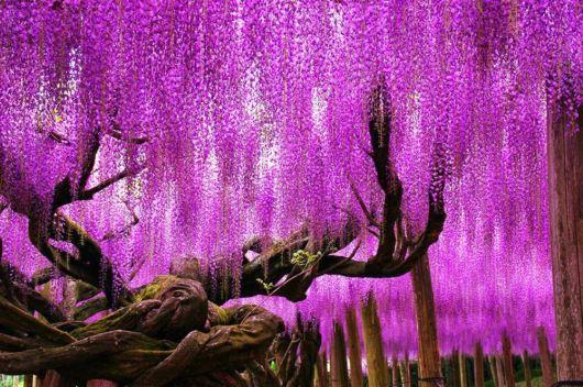 Beautiful 100 Years Old Wisteria In Japan