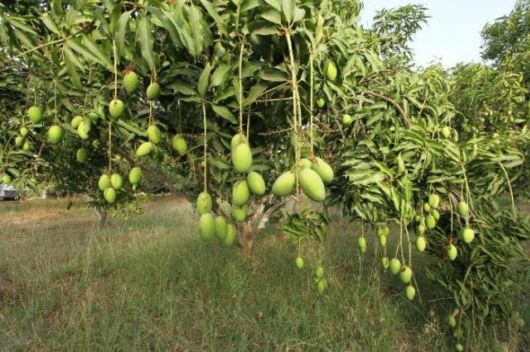 7 Kinds Of Orchards You Can Go Fruit Picking At Around India