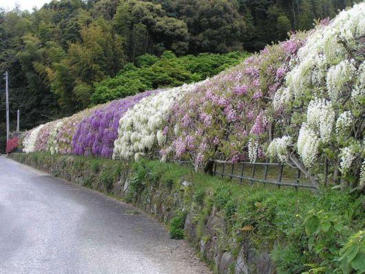 The Wisteria Flower Tunnel At Kawachi Fuji Garden In Japan