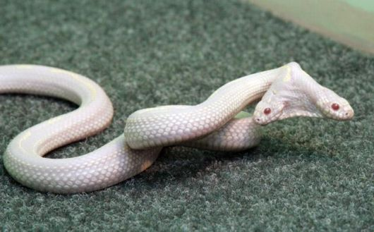 Amazing 2 Headed Snakes