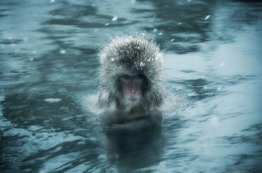 Snow Monkeys In Japan Have Their Own Pools