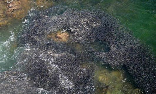 Incredible Swarms Of Fish